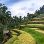 Rice paddy outside Ubud