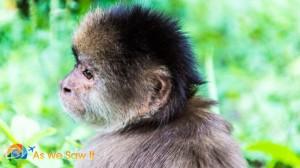 Original shot of the Monkey. Wooly Monkey started to turn towards me.