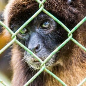 monkey peeks through wire at summit botanical gardens and zoo near Panama Cityh