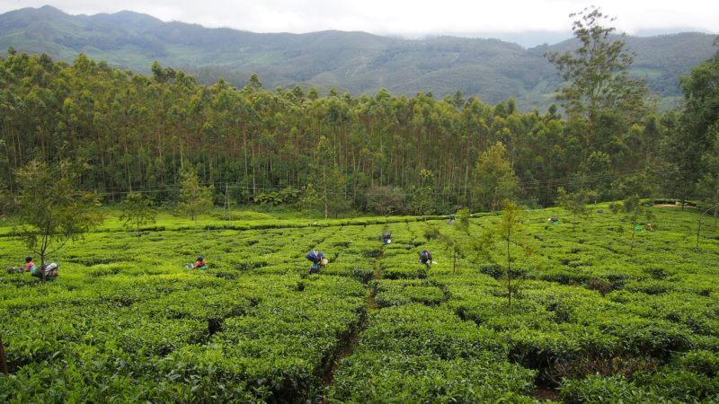 Field of tea shrubs with people picking tea. Mountains and forest in background