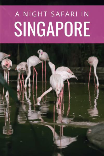 flamingos feeding text says a night safari in singapore