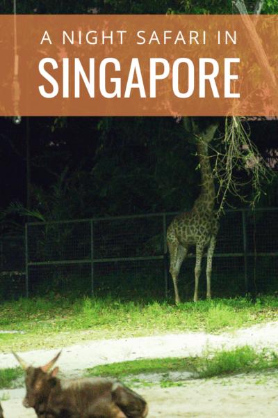 giraffe eating text says a night safari in singapore