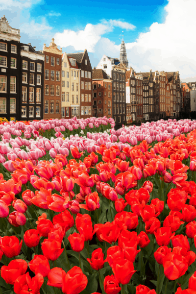 red tulips with amsterdam in background