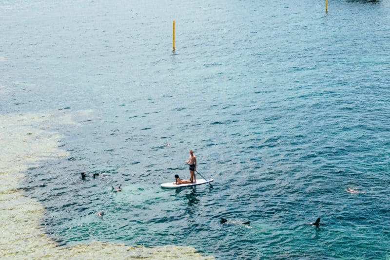 aerial view of dolphins playing around two people on a paddle board