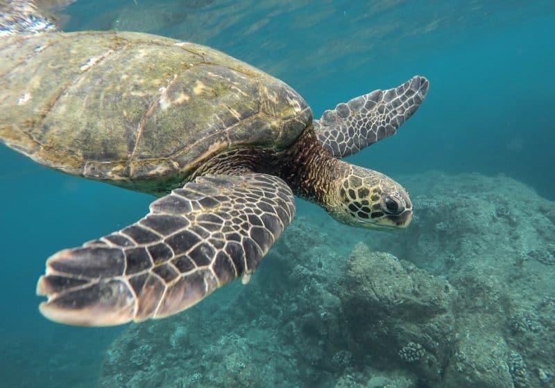 closeup of sea turtle swimming underwater