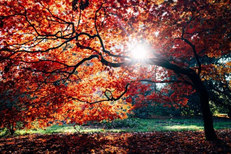 sun shines through red leaves at Westonbirt Arboretum in Cotswolds