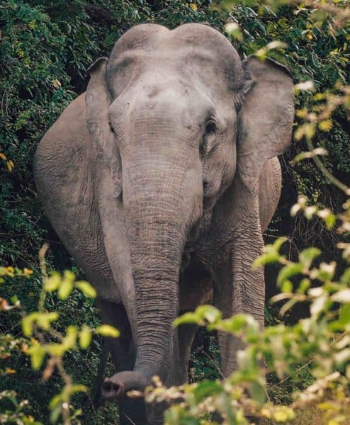 Closeup of elephant