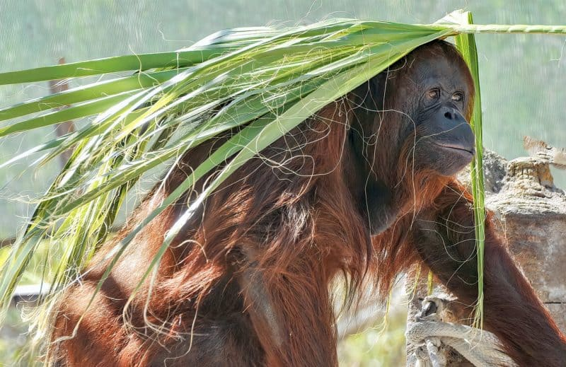 orangutan playing with a palm frond on Borneo