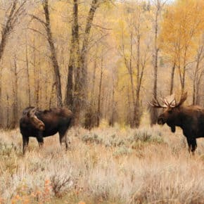 moose pair in yellowstone national park