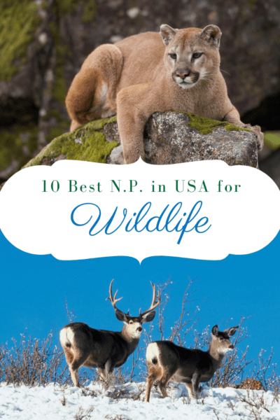 mountain lion and pronghorn sheep text says 10 best national parks in usa for wildlife