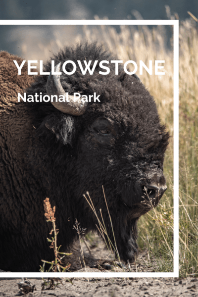large bison text says yellowstone national park