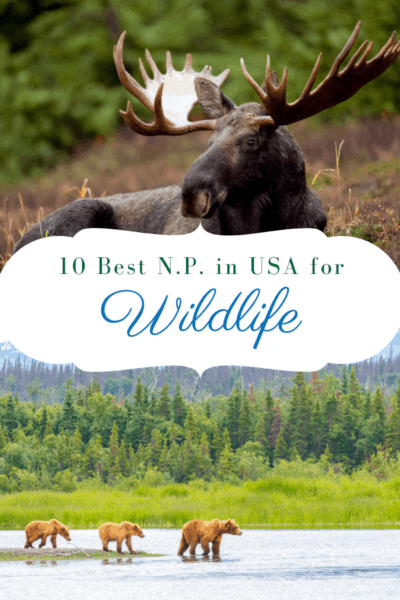 moose and grizzly bears text says 10 best national parks in usa for wildlife