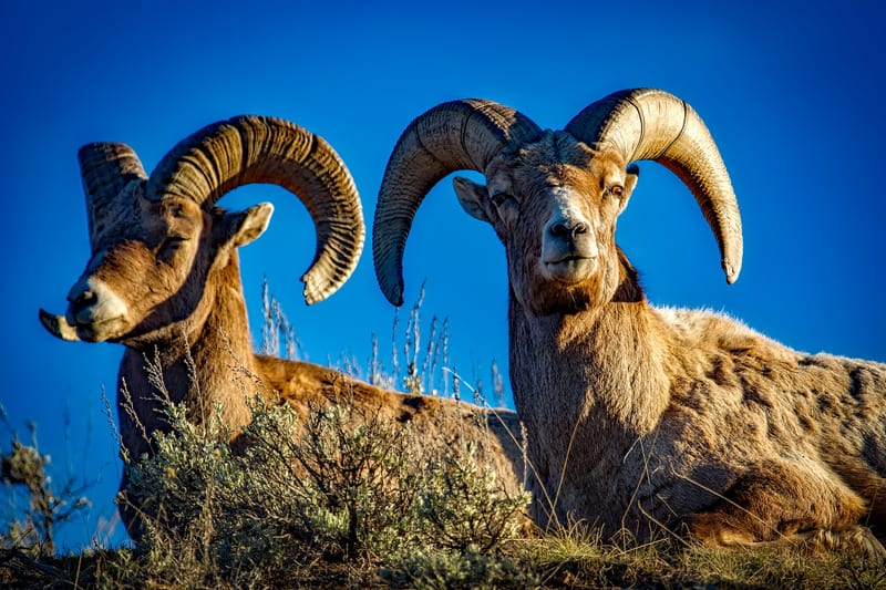 bighorn sheep in Yellowstone, which is probably the best US national park for wildlife viewing