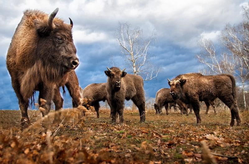herd of bison in grand teton national park