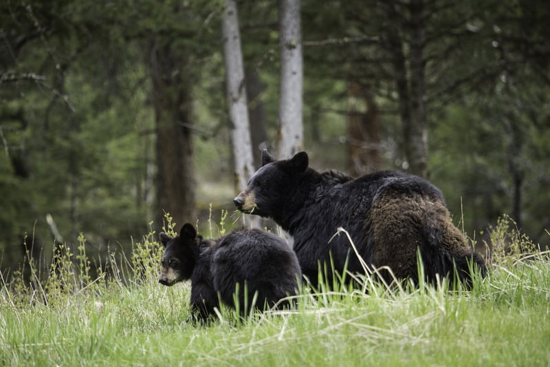 black bears in smoky mountains national park