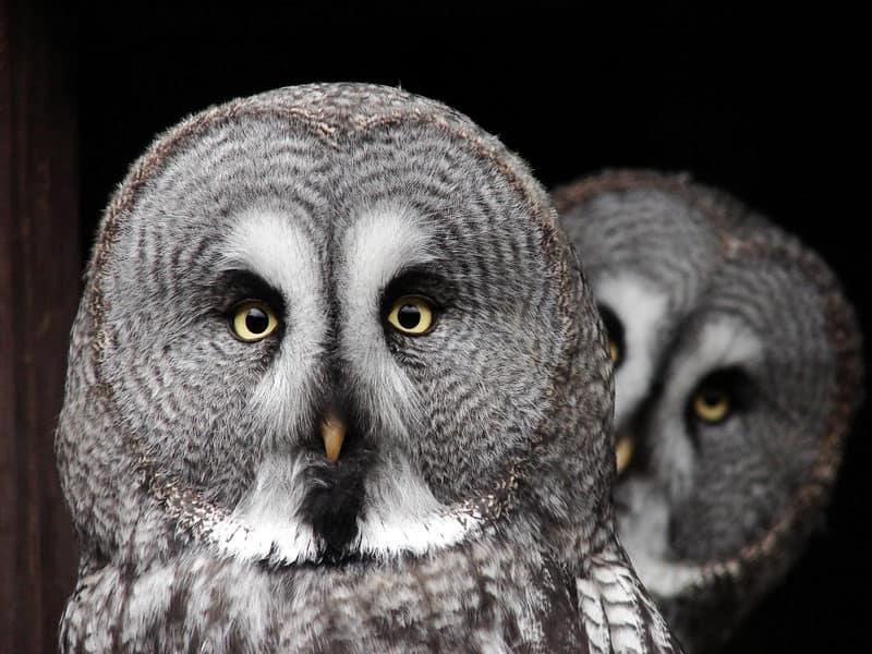 great grey owl in yosemite national park