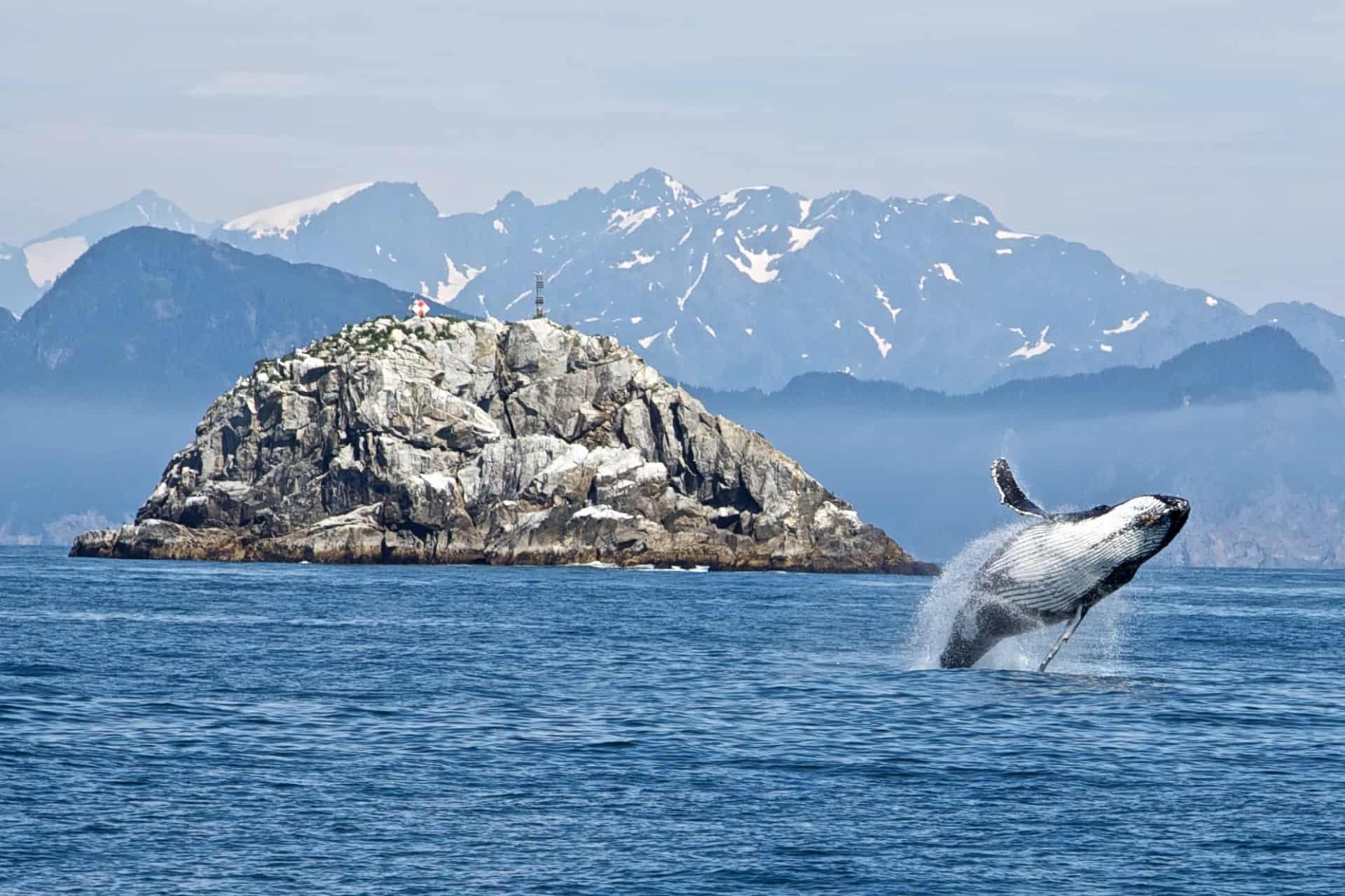 jumping humback whale on alaskan cruise