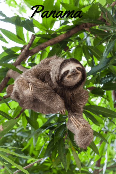 three-toed sloth text says panama