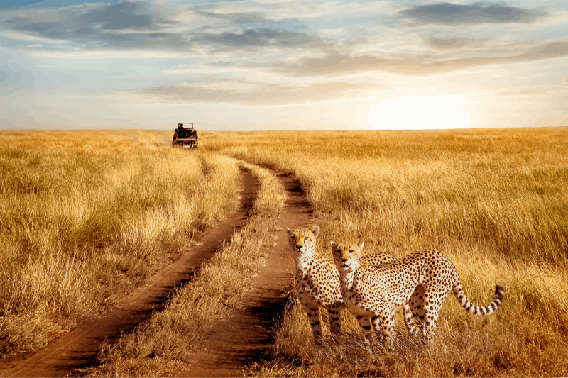 two cheetah with a safari vehicle spotted during a perfect african safari