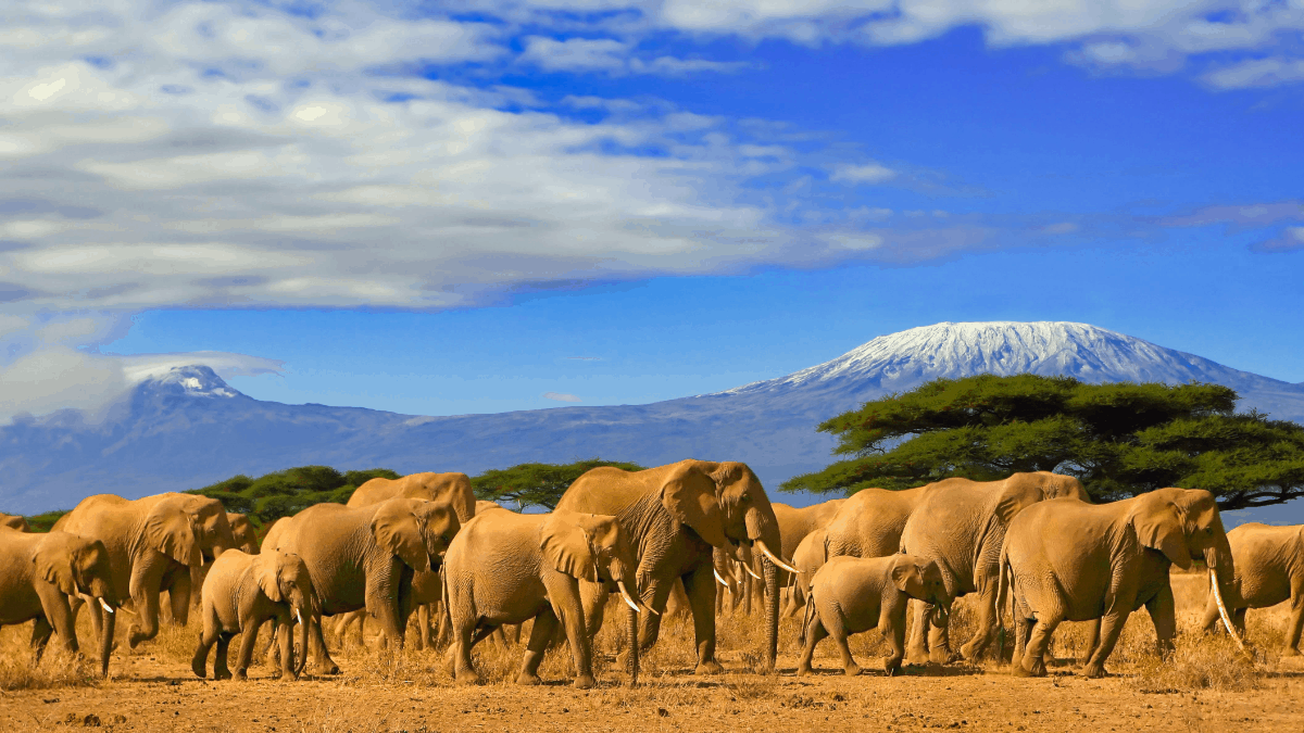 elephants in front of Kilimanjaro