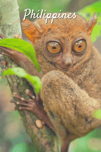 bush baby on a tree limb text says philippines
