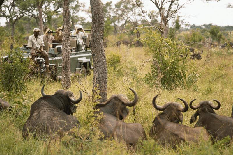 jeep of people on safari spotting cape buffalo