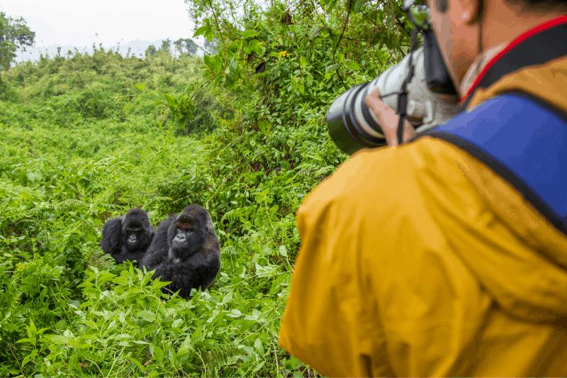 man photographing mountain gorillas