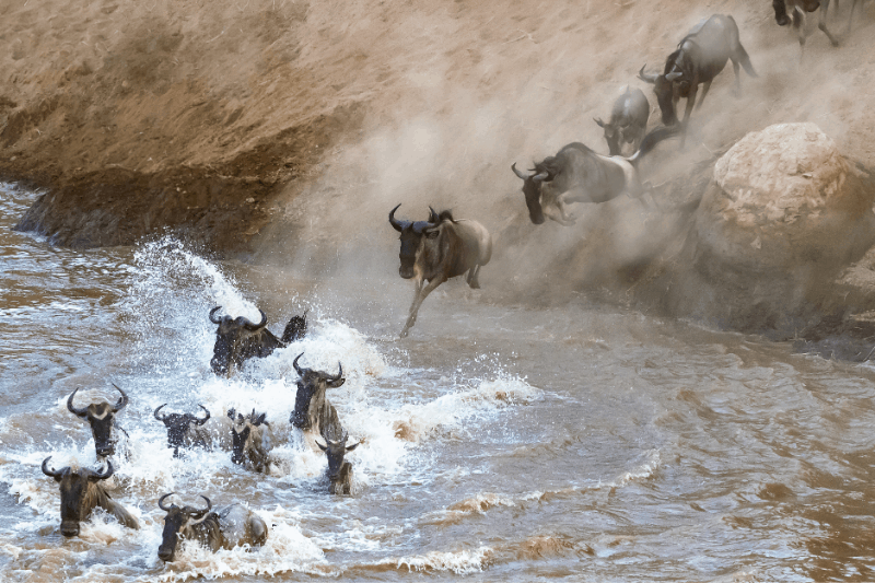 wildebeest jumping into the river during the migration