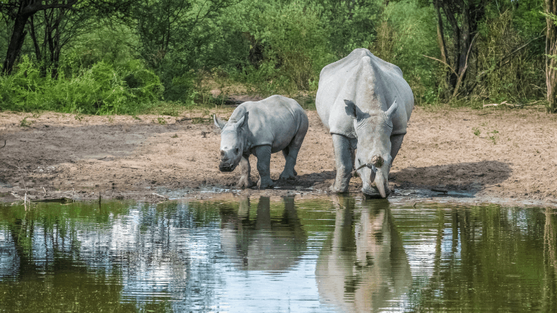 White rhinos are rarely seen on safaris but can be found at Khama Rhino Sanctuary