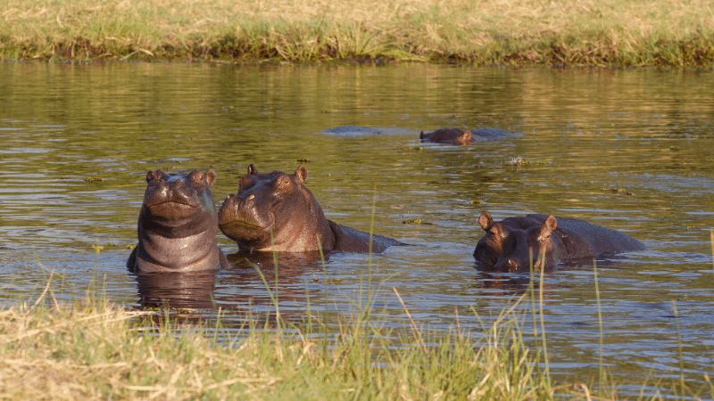 hippos on a botswana safari