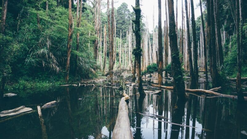 Cypress trees and water in a swamp in Florida everglades