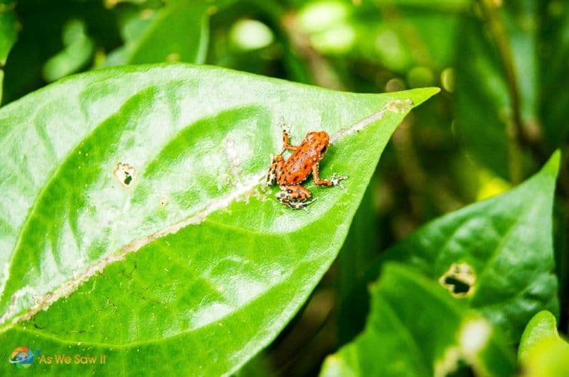 Red Poison Dart Frog.
