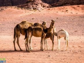 Camels of the Middle East in Wadi Rum.